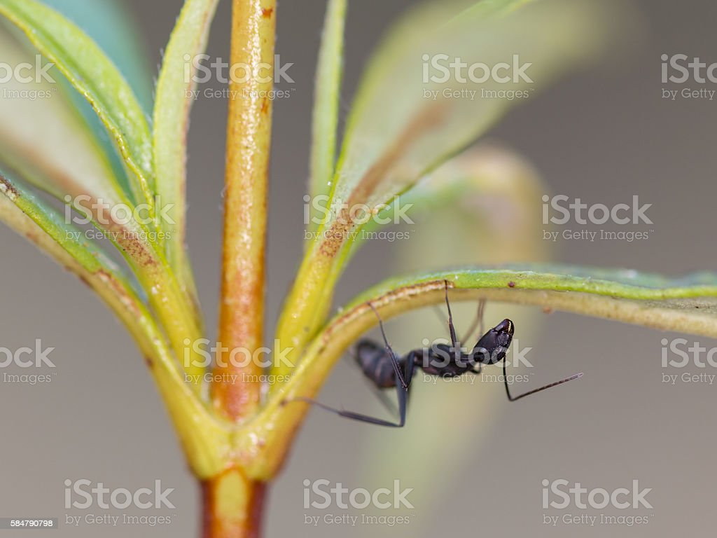 Formicidae stock photo
