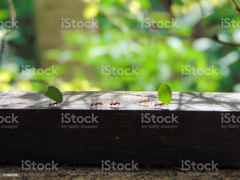 Formigas levando folhas stock photo