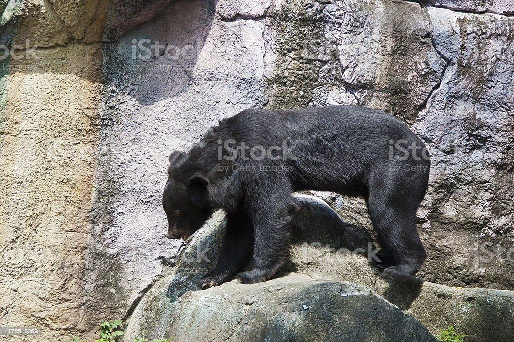 formosa black bear,Ursus thibetanus formosanus stock photo