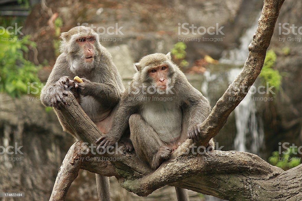 Formosan Macaque Family royalty-free stock photo