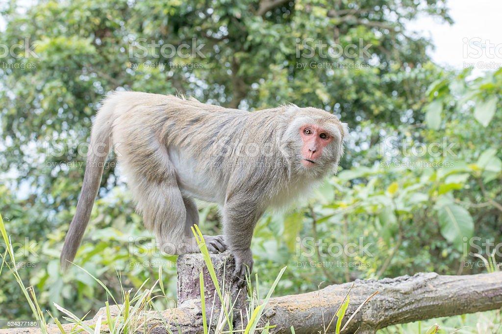 Formosan macaques staring at the pillars stock photo
