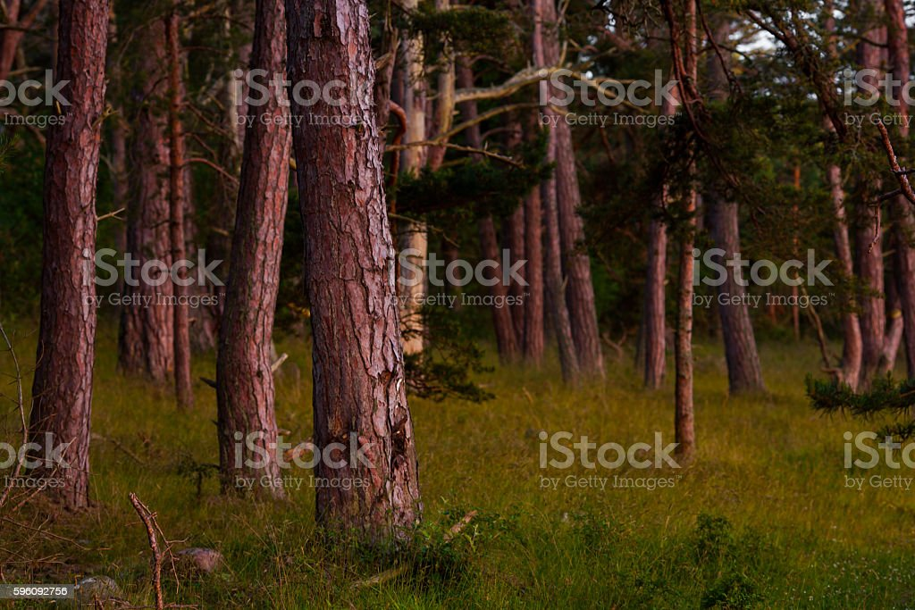 Forrest royalty-free stock photo