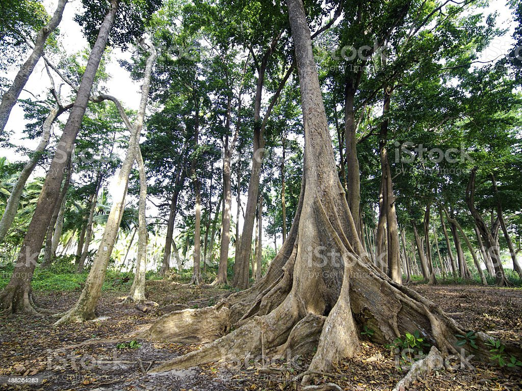 Big trees with buttress roots in tropical rainforest at Havelock...