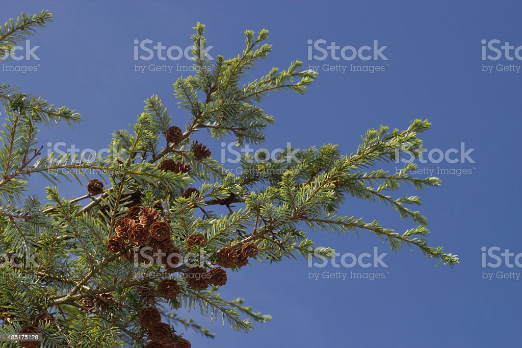 Forrest's hemlock - Tsuga forrestii - branches against blue sky stock photo