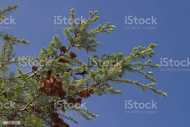 Photo of Forrest's hemlock - Tsuga forrestii - branches against blue sky