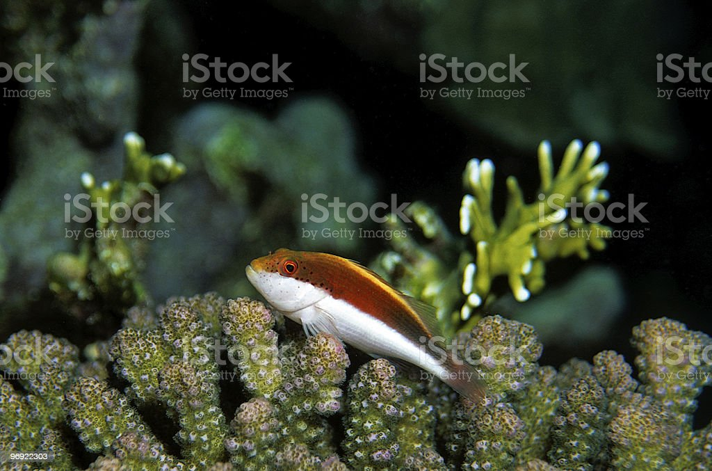 Forsters Hawkfish (Paracirrhites forsteri) royalty-free stock photo