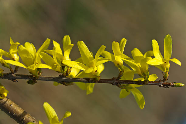 Forsythia, a beautiful spring bush with yellow flowers stock photo