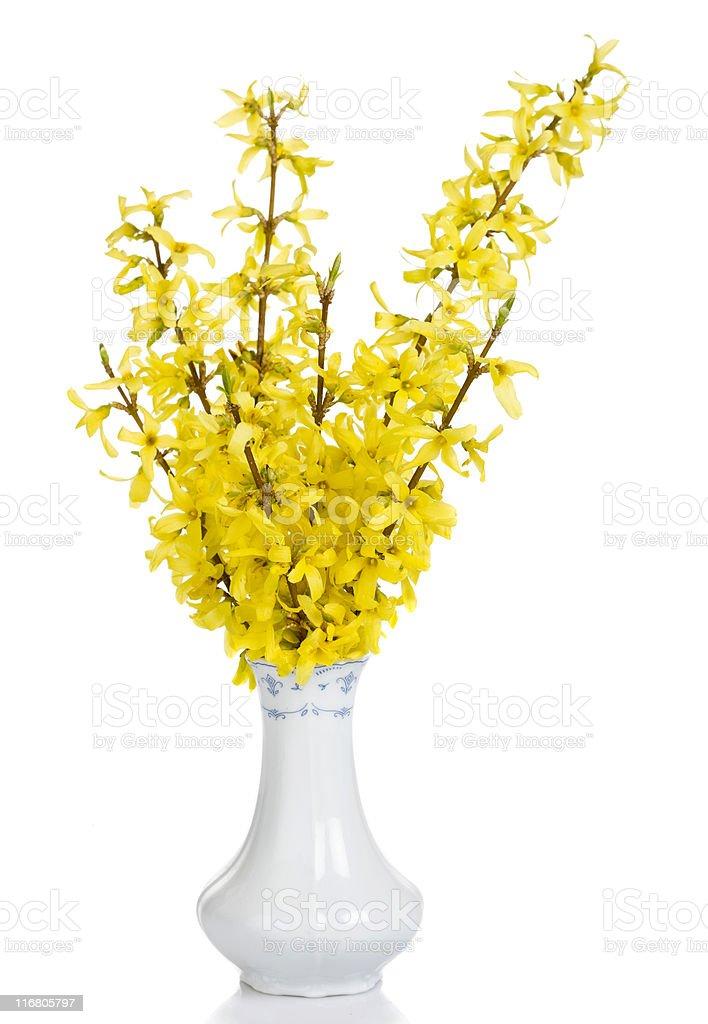 Forsythia blooms in vase stock photo