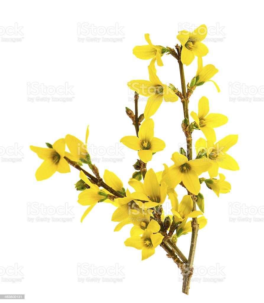 forsythia blossoming isolated on white stock photo