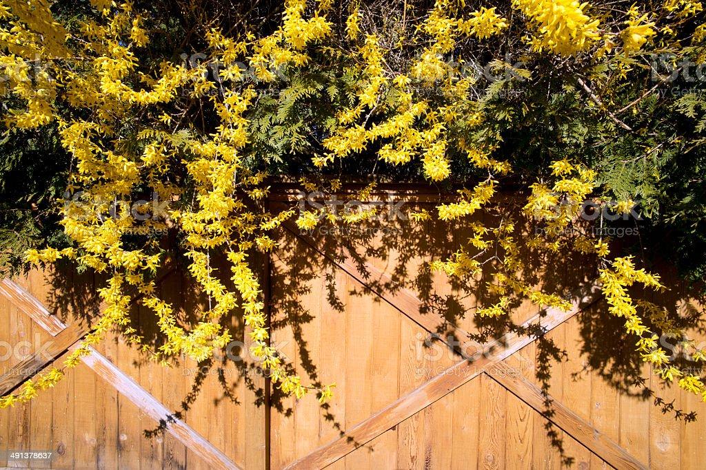 Forsythia bush stock photo