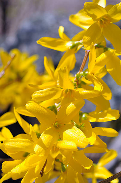 forsythia flowers closeup - mike cherim stock pictures, royalty-free photos & images