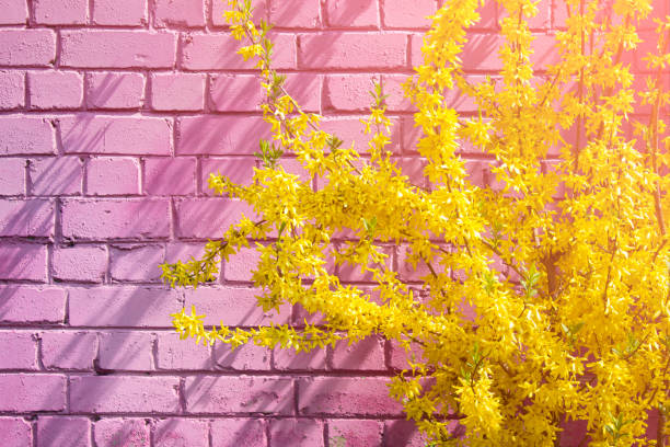 Forsythia flowers in blossom stock photo