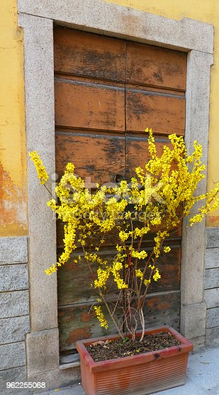 Forsythia flowers in spring in View terrace overlooking Lake Maggiore Angera Italy Europe