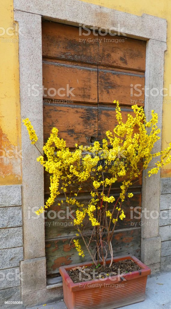 Forsythia flowers in spring in View terrace overlooking Lake Maggiore Angera Italy Europe stock photo