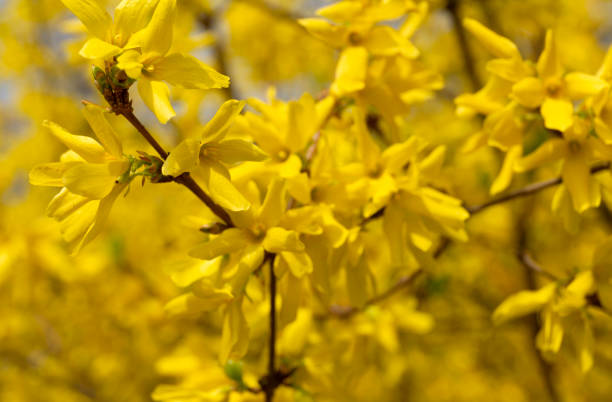 Forsythia flowers in the spring park background stock photo