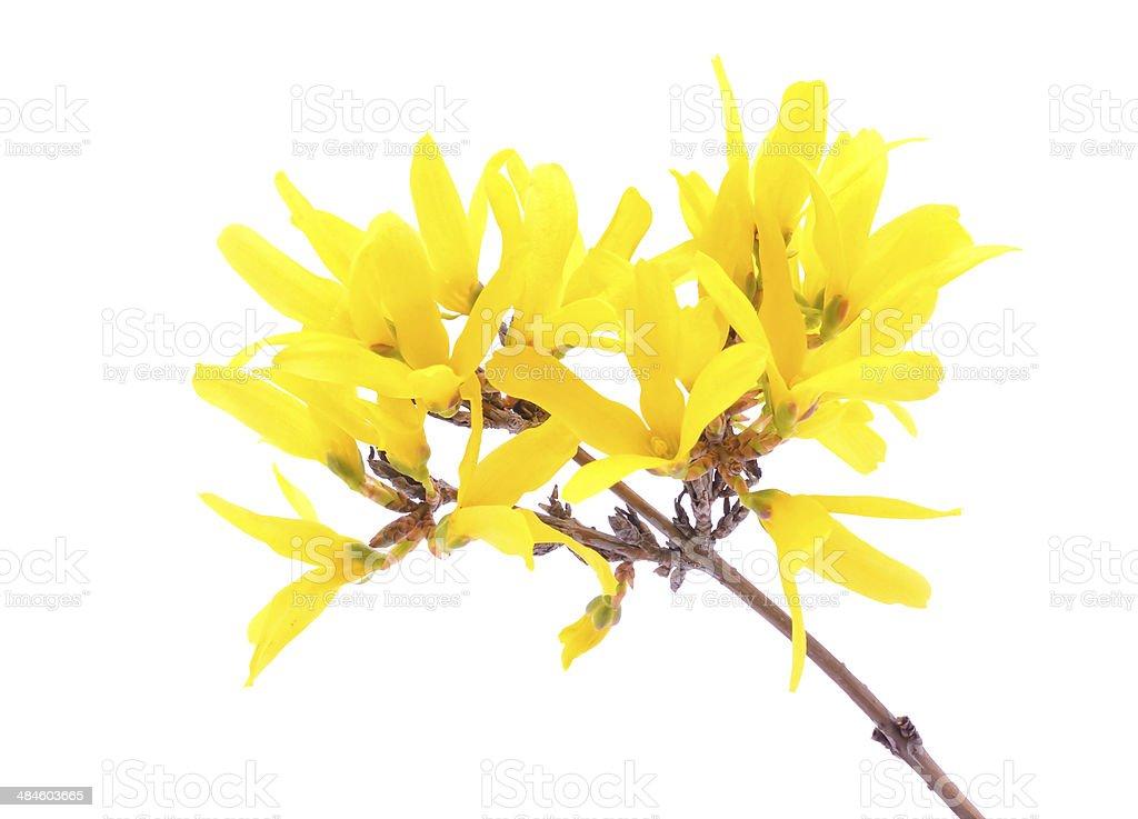 forsythia flowers isolated on white stock photo
