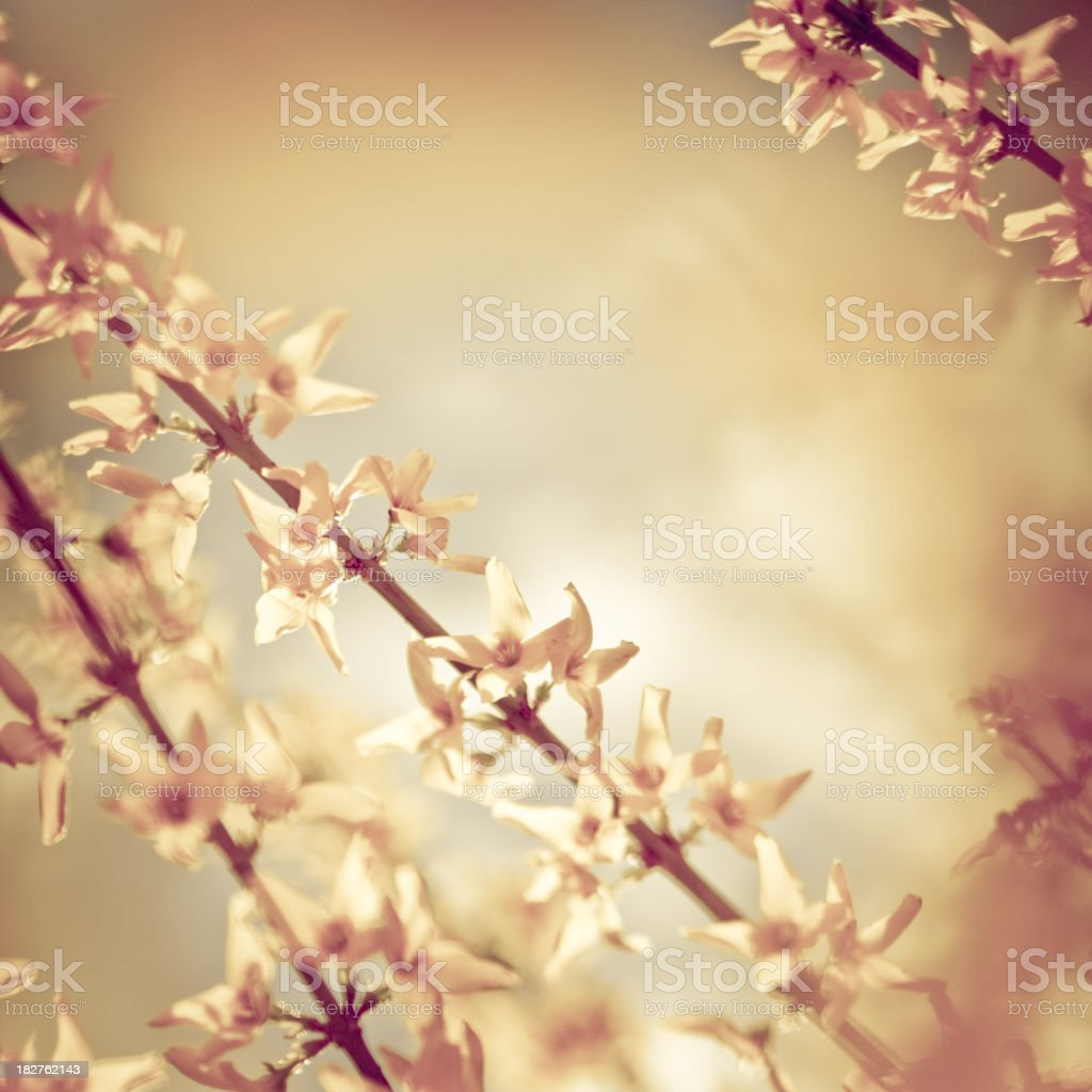 Forsythia in spring royalty-free stock photo