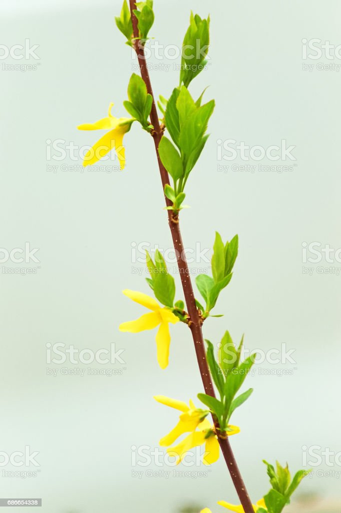 Forsythia in the Spring royalty-free stock photo