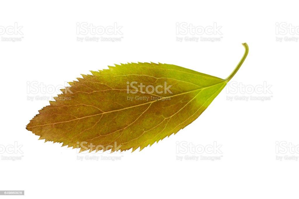 Forsythia, intermedia, leaves in autumn, stock photo