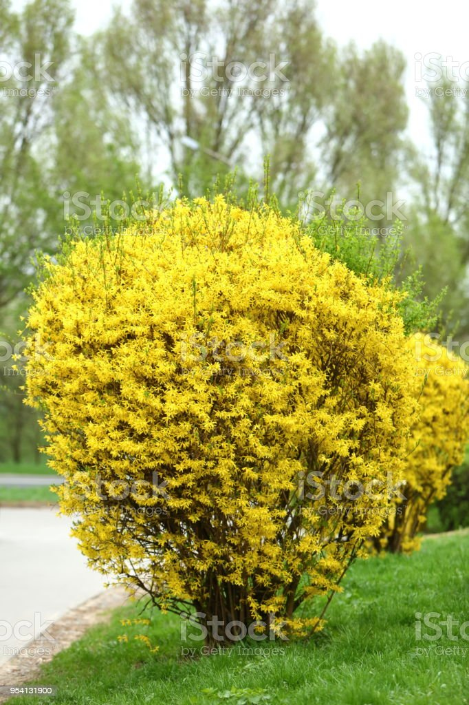 Forsythia Is A Beautiful Shrub That Blooms In Early Spring Yellow