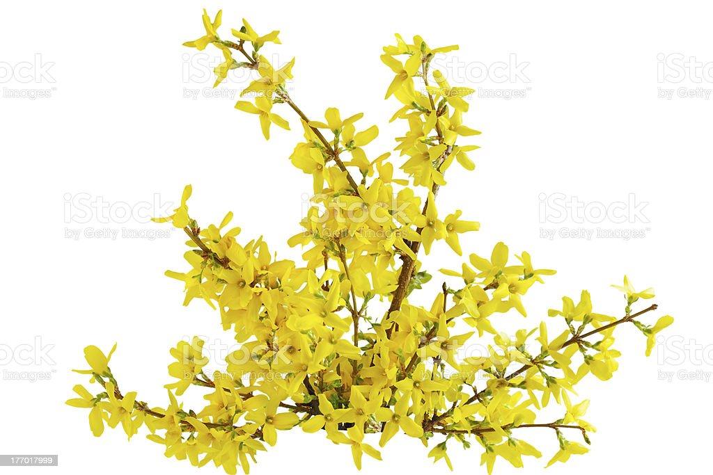 Forsythia Laburnum Flower stock photo