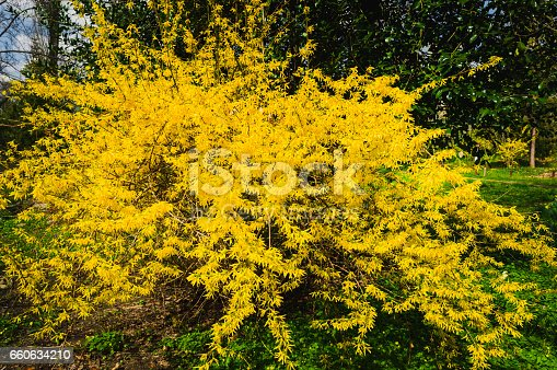 Forsythia in full bloom.