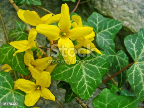 Forsythia Stock Photo & More Pictures of Close-up
