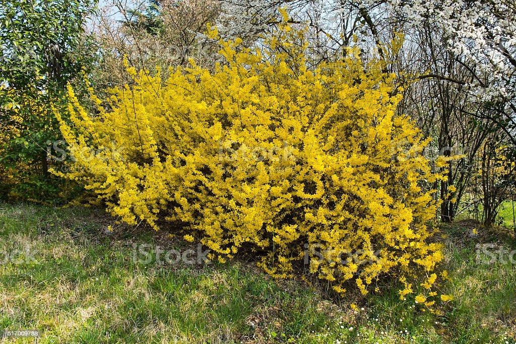 Forsythia shrub stock photo