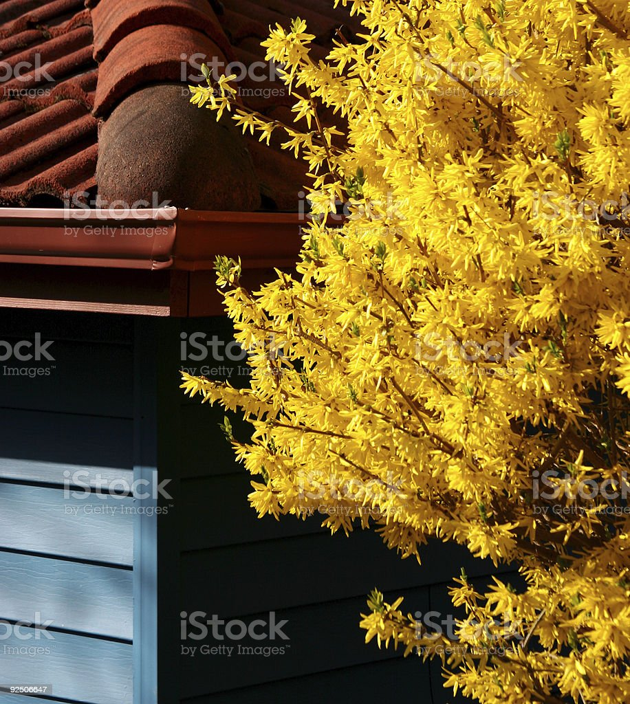 Forsythia tree against a colorful house royalty-free stock photo
