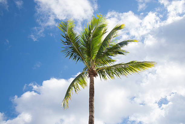 Fort Lauderdale palm trees stock photo