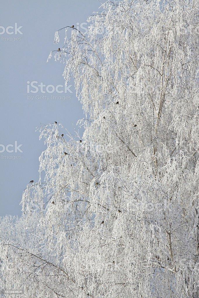 Forzen trees landscape  with birds stock photo