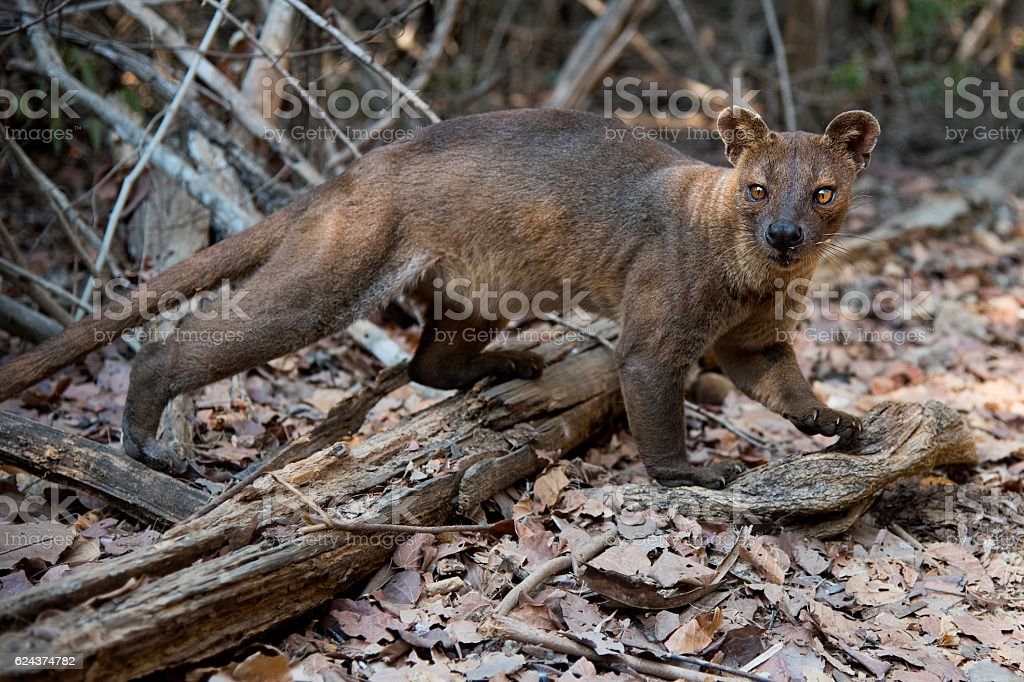 Fossa in the wilrd stock photo