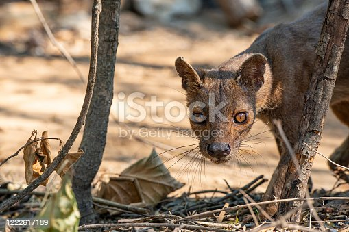 Rare wildlife shot of a male Fossa (Cryptoprocta ferox), SHOT IN WILDLIFE in Madagascar. A Fossa is a cat-like mammal that is endemic to Madagascar. The fossa is the largest mammalian carnivore on the island of Madagascar and could be comparedwith a small cougar.
