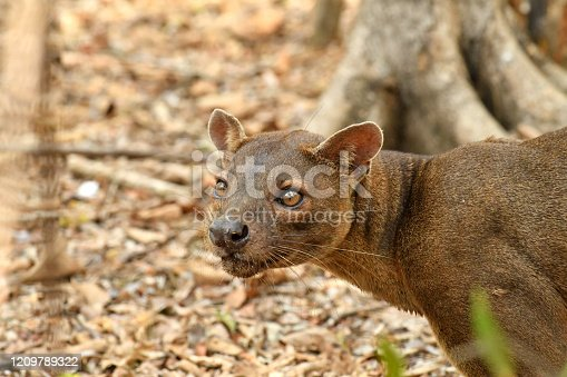 a wild Fossa roams a forest camp in search of food in Western Madagascar