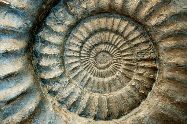 fossil ammonite close-up - fossil stock photos and pictures
