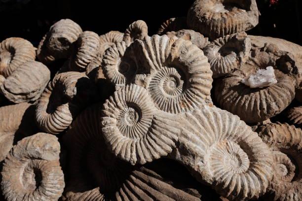 Fossil Ammonit – Foto