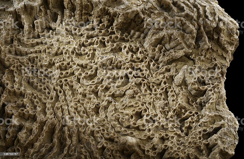 Fossil Chain Coral. Silurian stock photo