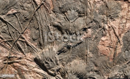 Close up of a multitude of fossil crinoids