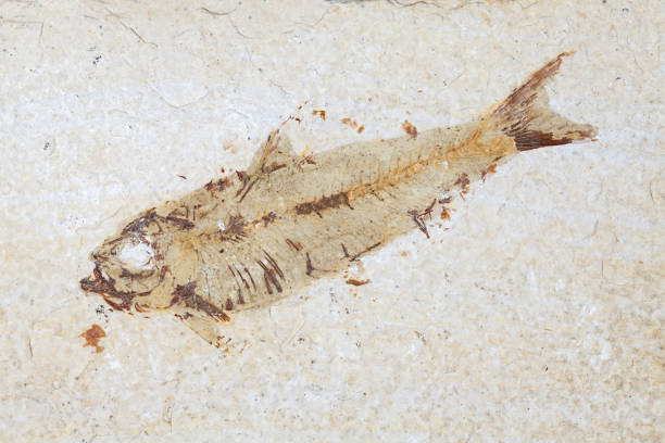 fosil balıklar. tarih öncesi knightia alta örnek i̇ozin döneminden kapatın. - omurgalı stok fotoğraflar ve resimler