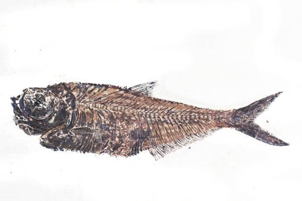 fosil balıklar izole - omurgalı stok fotoğraflar ve resimler
