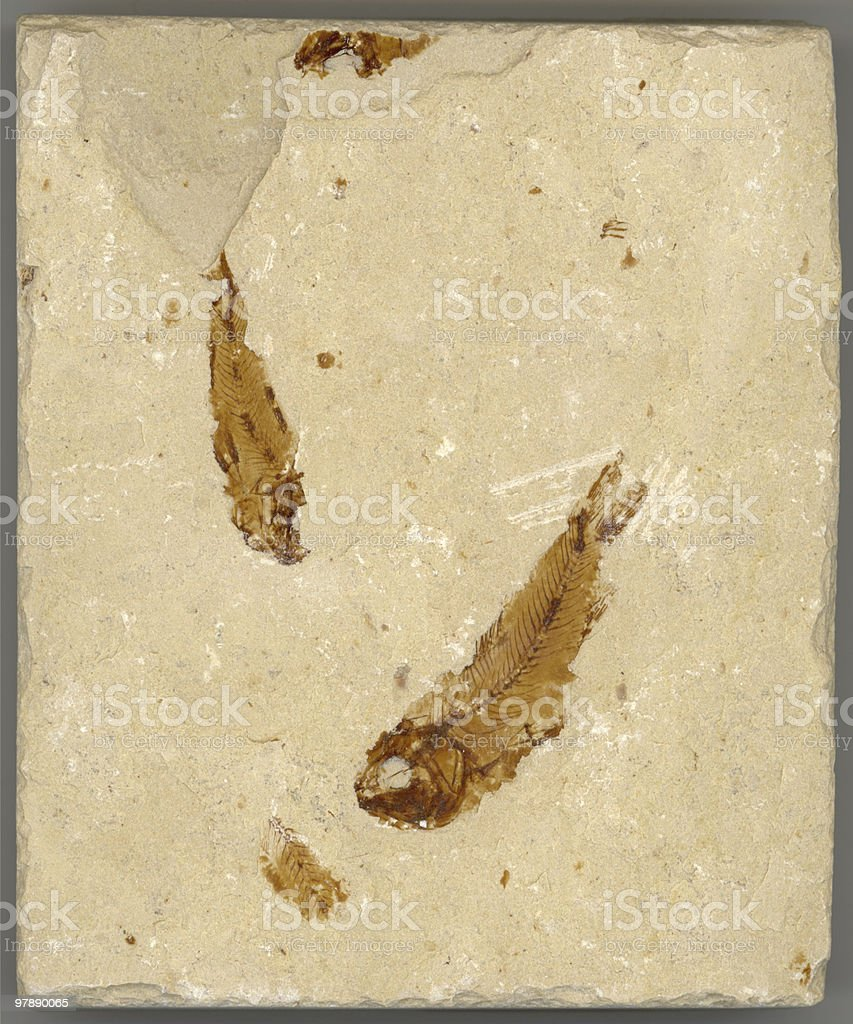 Fossil Fish Pair royalty-free stock photo