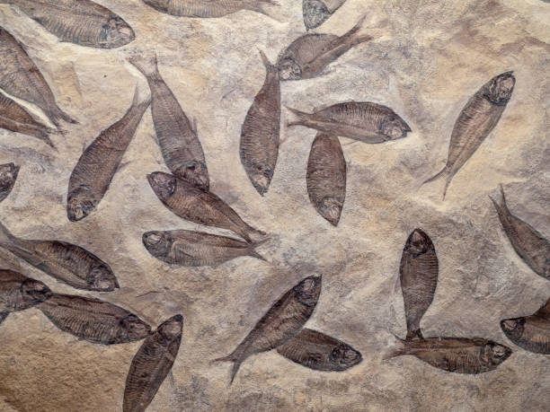 Fossil Fish Preserved in Rock stock photo