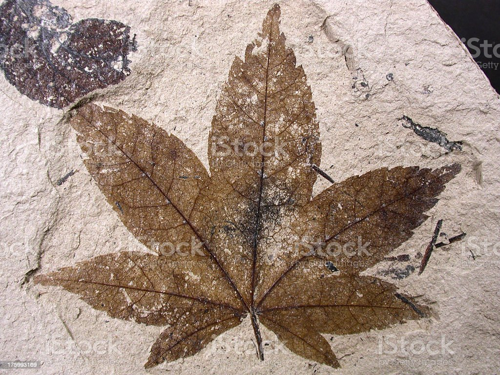 fossil leaf stock photo