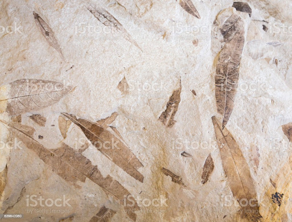 Fossil leaves in stone stock photo