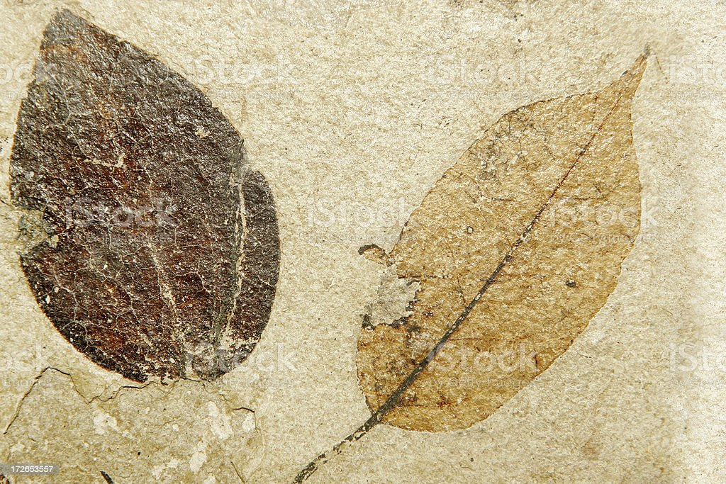 Fossil Leaves stock photo