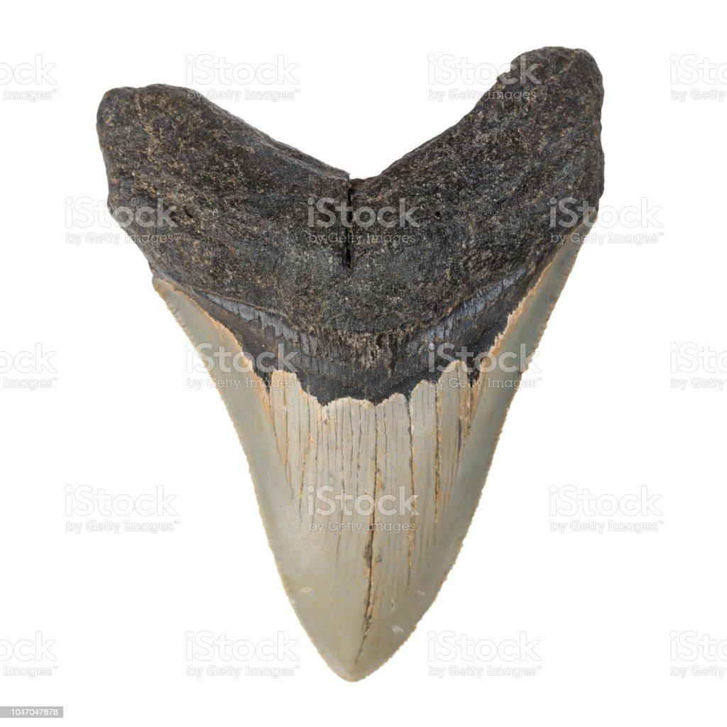 Dent de Megalodon fossile sur fond blanc - Photo