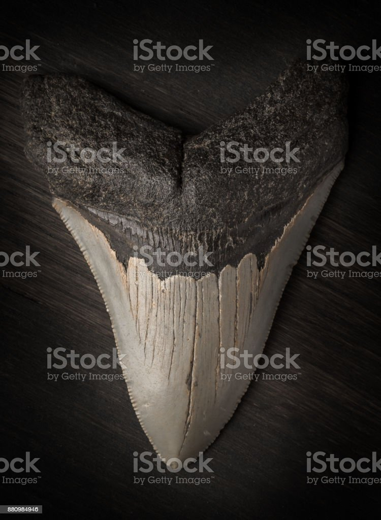 Fossil Megalodon tooth on wood background stock photo