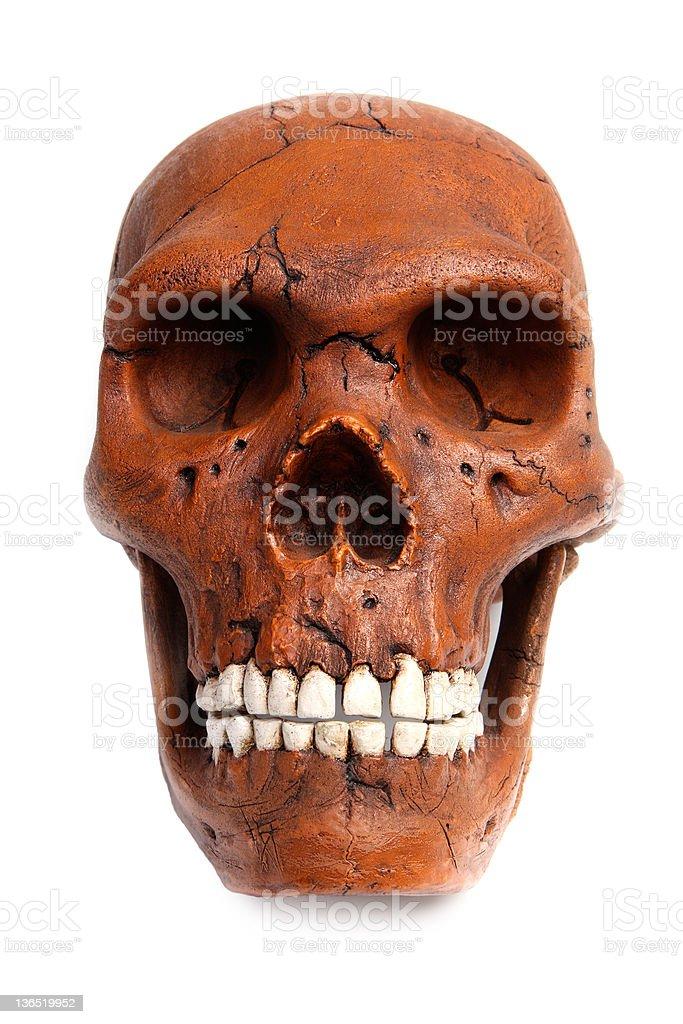 Fossil Neanderthal skull stock photo