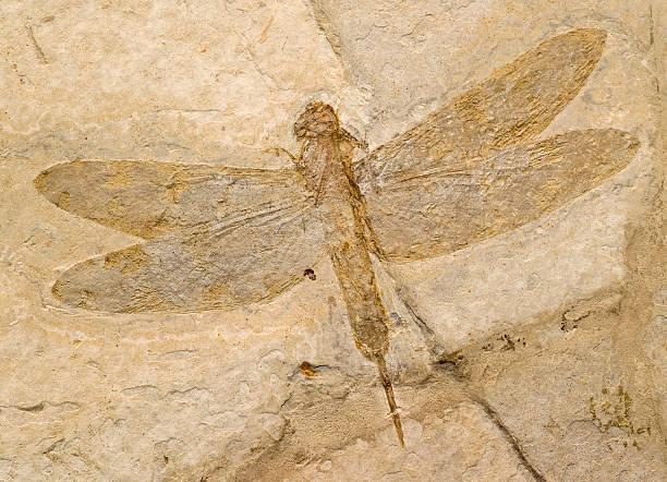 Fossil von einer Libelle. – Foto