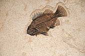 Fossil of a Fish Facing Down on Flat Brown Stone. This is a horizontal stock photo of an actual fish fossil.